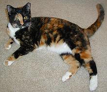 cistitis felina