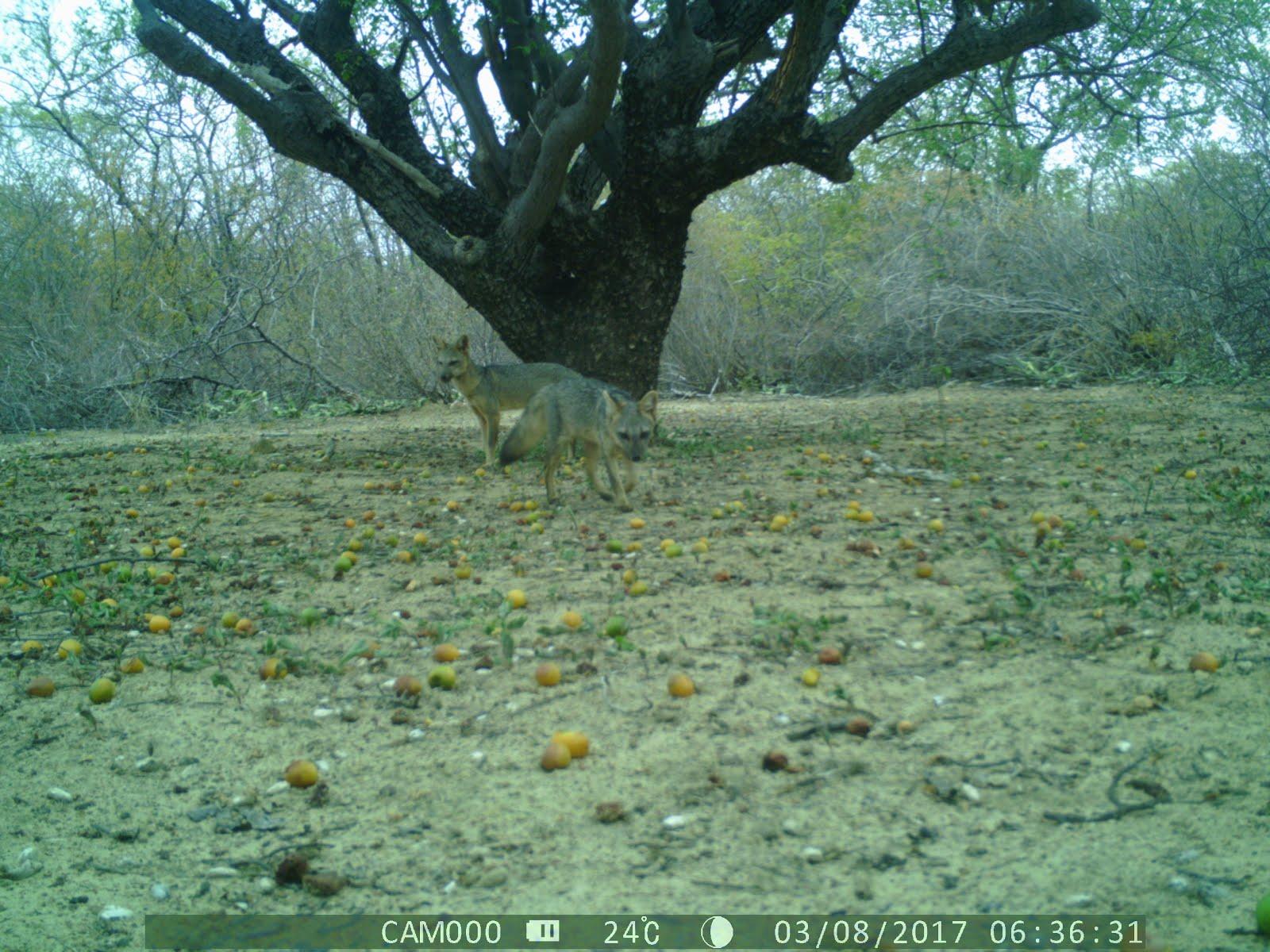 Raposas comendo frutos do imbuzeiro