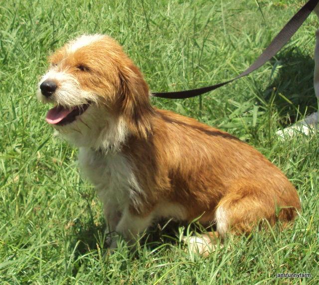 Dog Ready For Adoption Yellow Labrador Retriever Catahoula ...