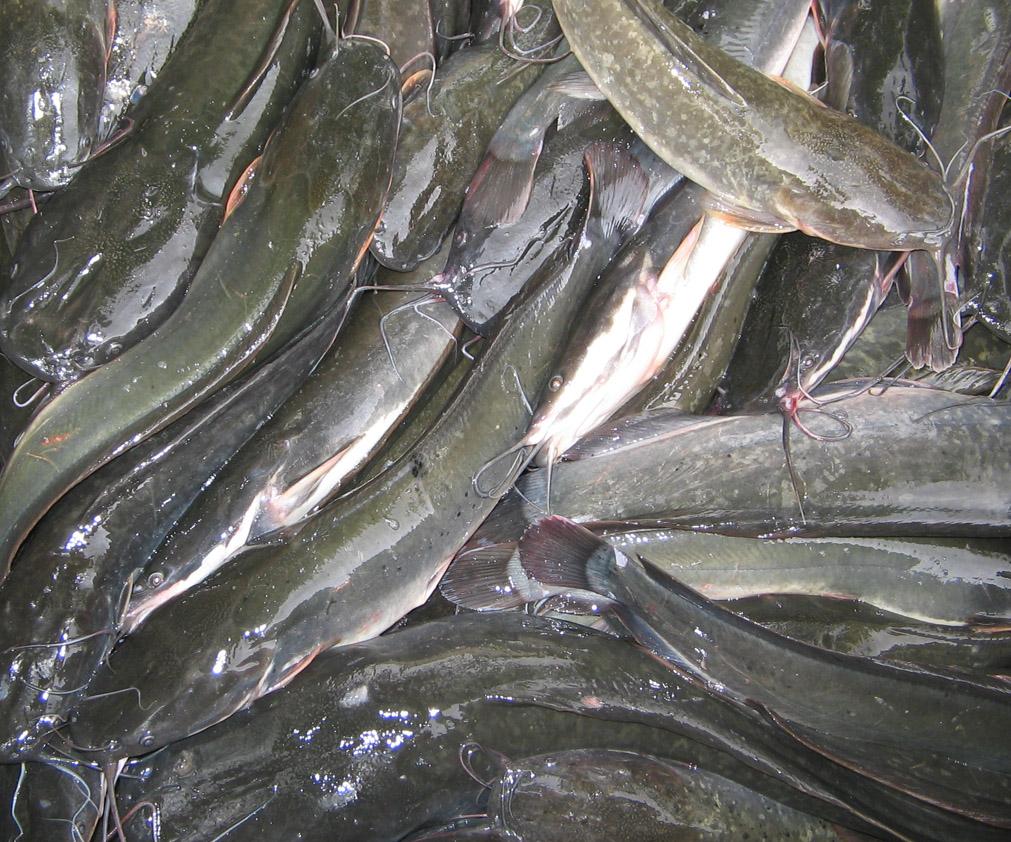 Ikan Lele Sangkuriang Asli Benih Ikan Lele Sangkuriang