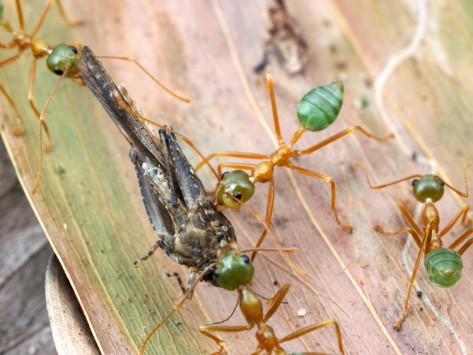 Semut Tidak Pernah Tidur - Info Minda