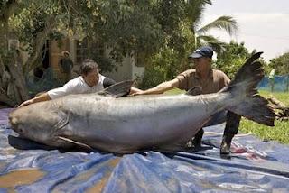 Ikan Catfish terbesar di dunia