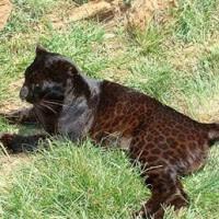 """Brasileiros acham mutação que """"transforma"""" leopardo em pantera-negra"""