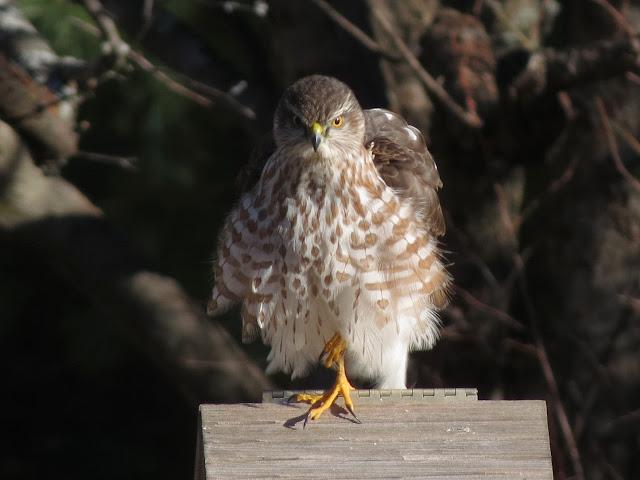 hawk looks fierce
