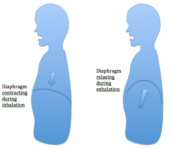 The Diaphragm (8/11/12 Updated with video link) Vocal Technique ...