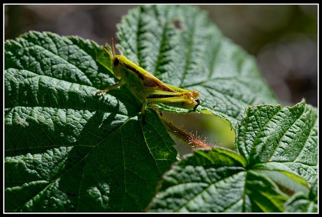 Nova Scotia; Gaff Point; Grasshopper