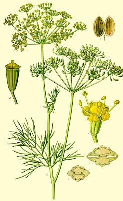 Aneto, Anethum graveotens