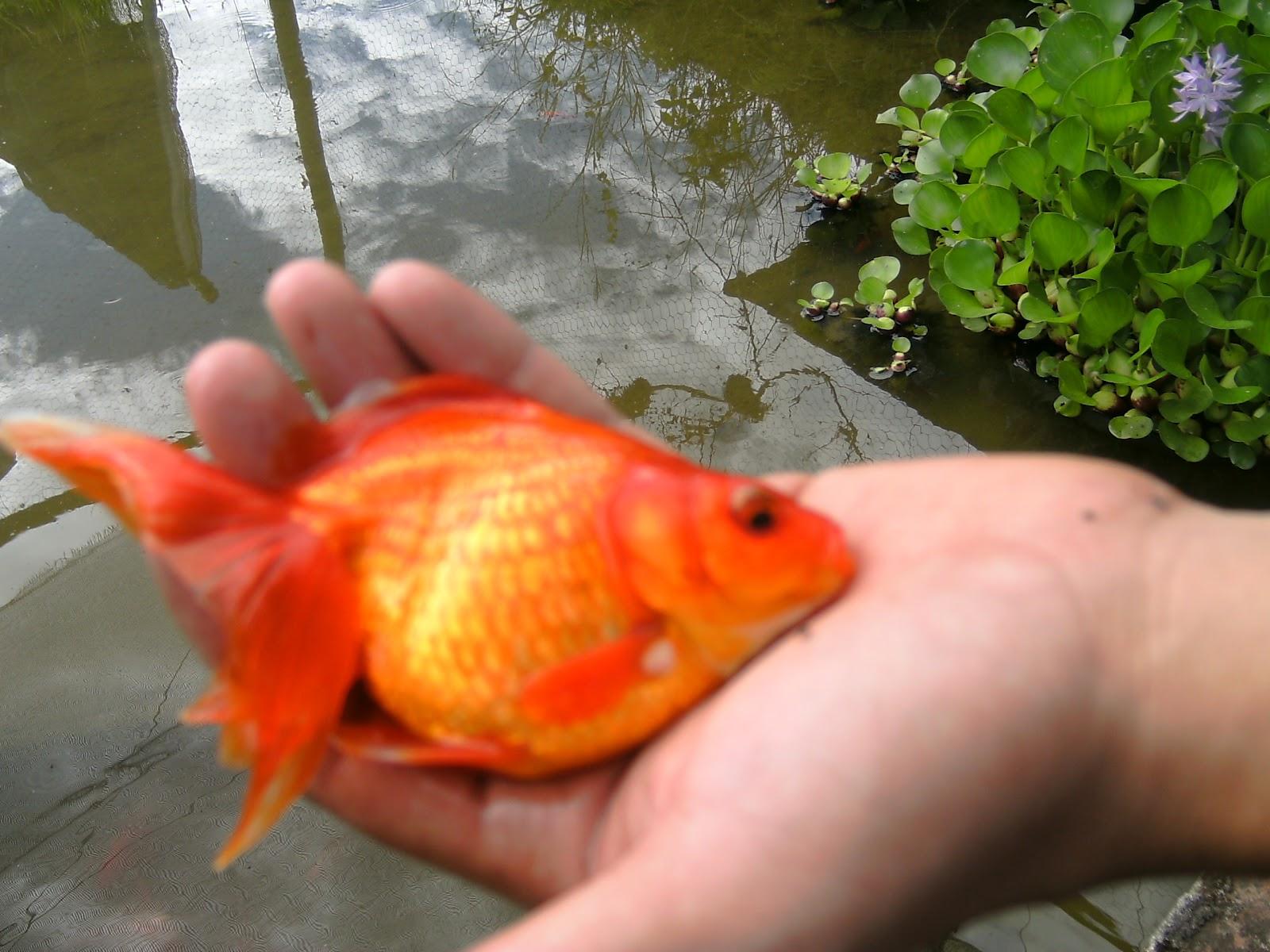 Peces arcoiris for Criadero de peces ornamentales