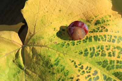 Grape Slip-Skin on Fall Leaf