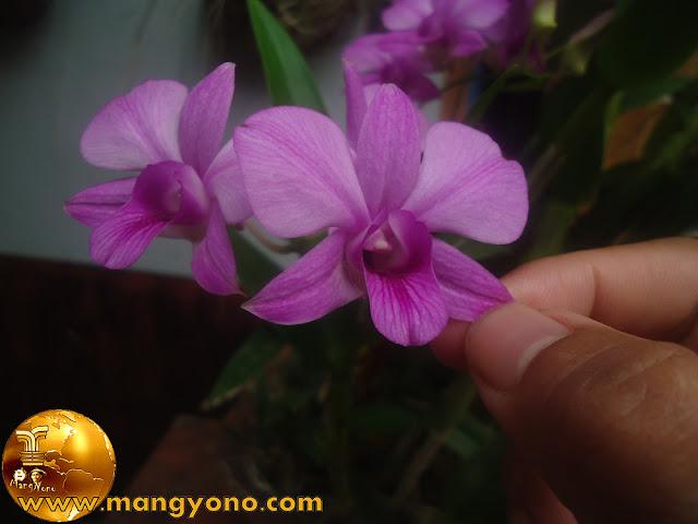 Cara / Tips Merawat Tanaman Bunga Anggrek. Foto tanaman anggrek saya sedang berbunga