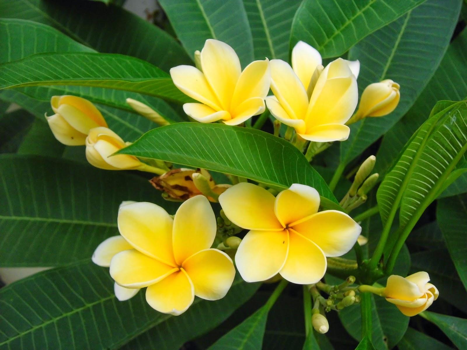 Pengobatan Sakit Bisul Dengan Tanaman Bunga Kamboja