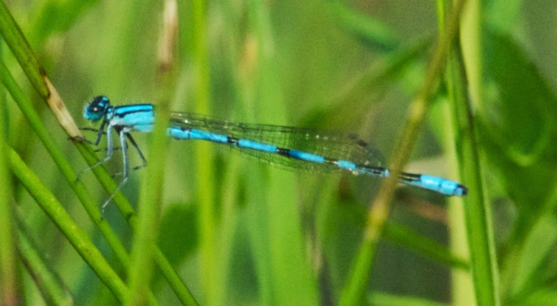 Boreal-type Bluet (Enallagma cf boreale)