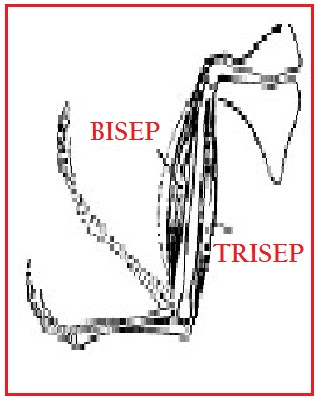 Fungsi otot bisep dan trisep dalam kontraksi yang benar adalah
