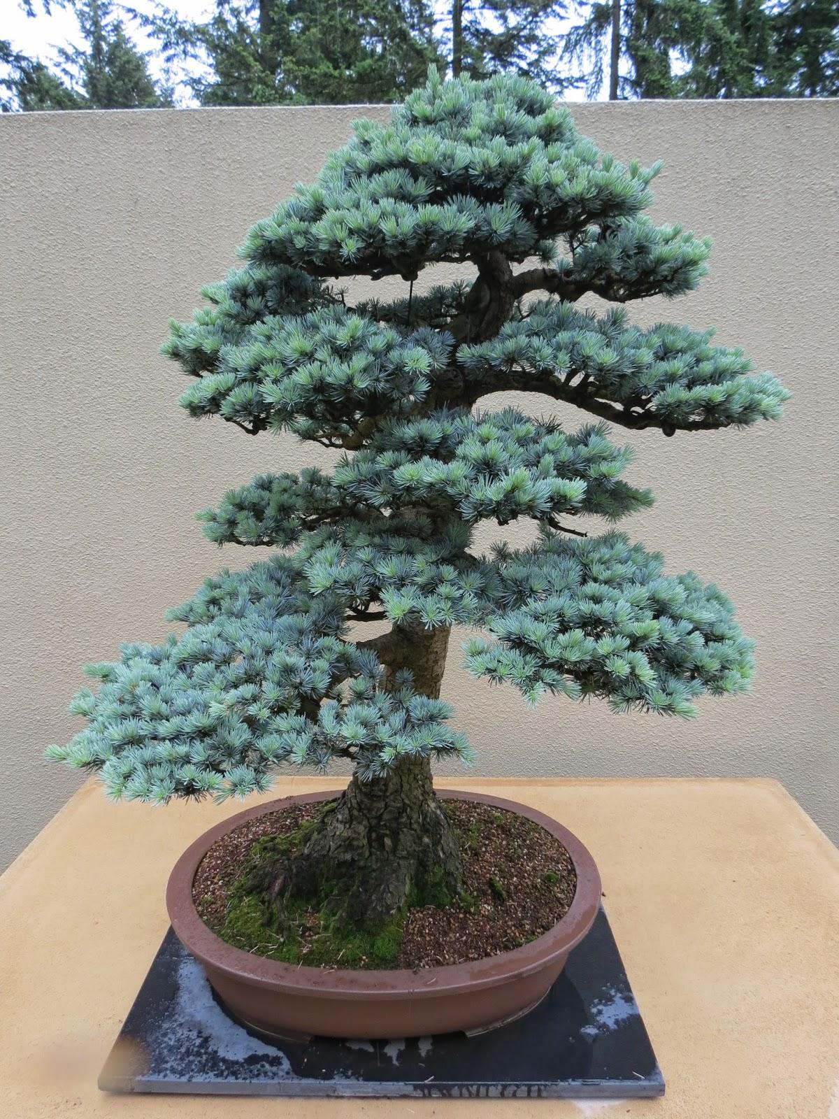 The Practical Plant Geek Pacific Rim Bonsai Collection
