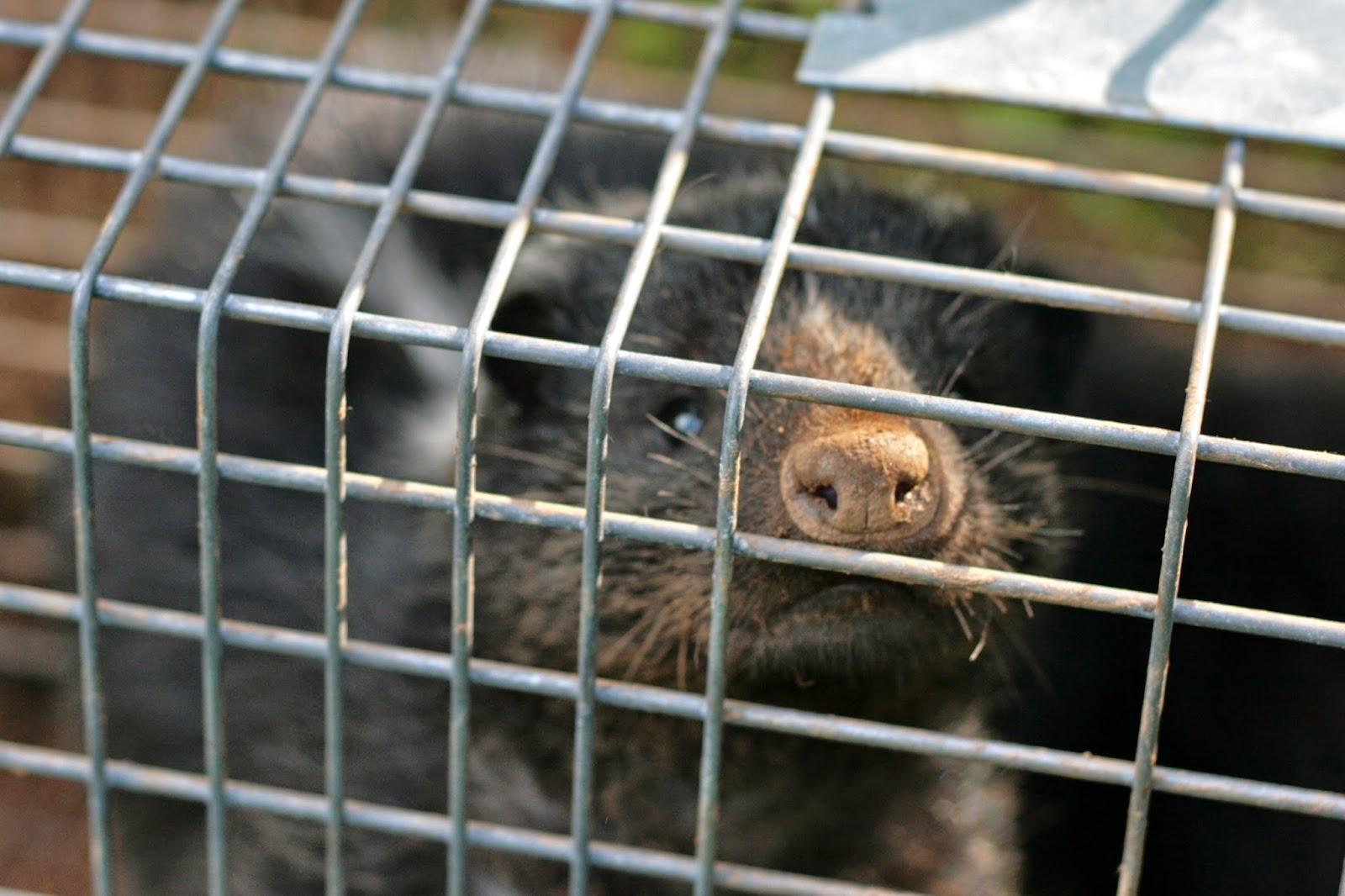 skunk havahart trap