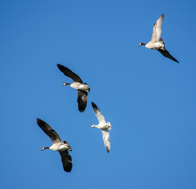 Snow Goose with Canada Geese