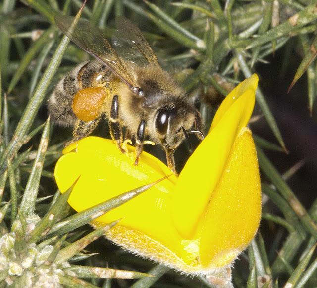 Honey Bee, Apis mellifera.  West Wickham Common, 21 March 2012.