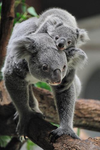Babies and beautiful mom baby koala - Pictures of koalas and baby koalas ...