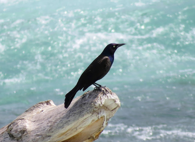 Common Grackle - Niagara Falls, New York