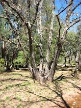 Un chêne
