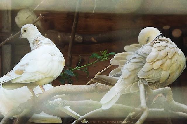 biele holuby