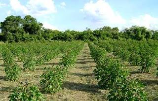 مزارع الجتروفا