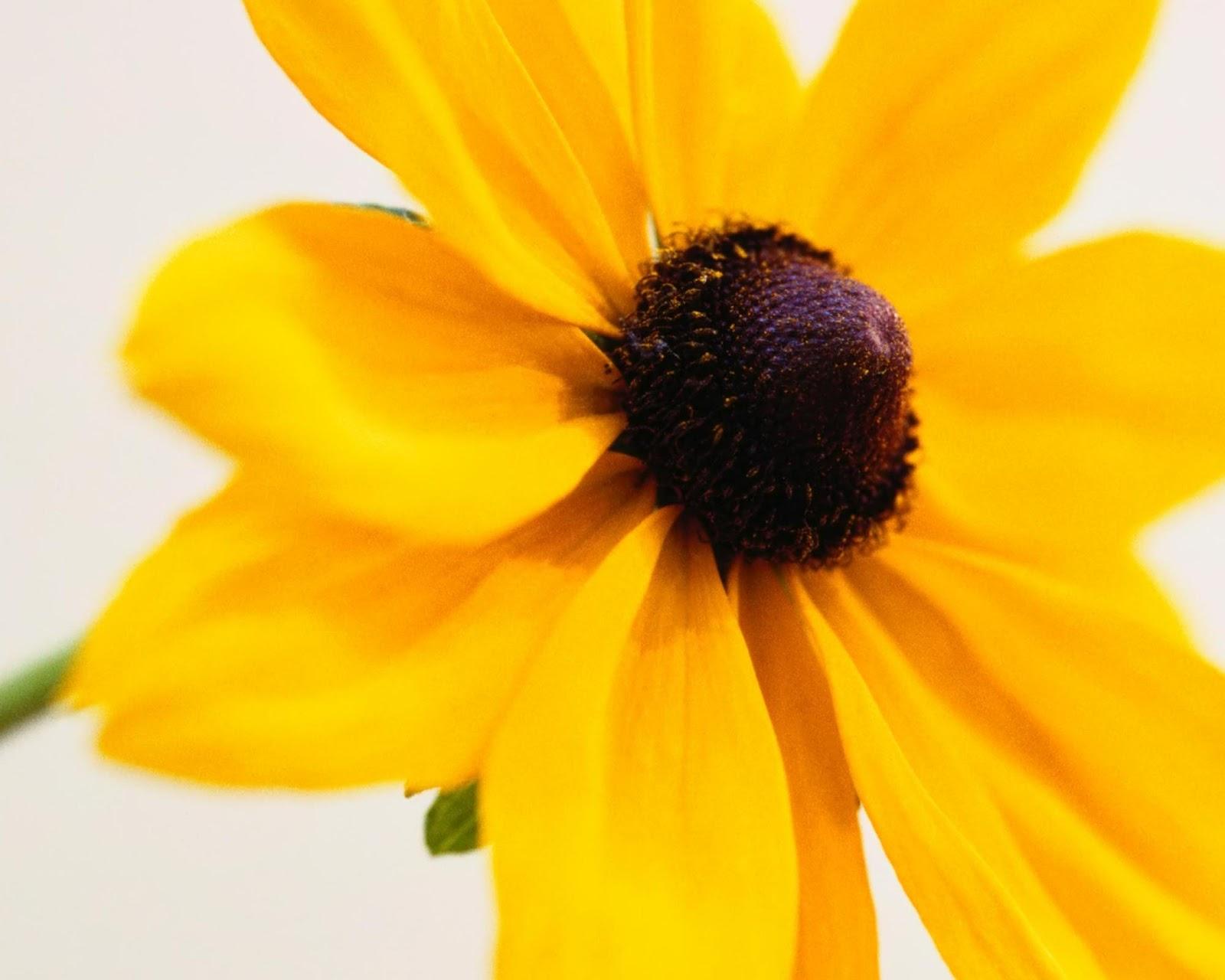 http://1.bp.blogspot.com/-lryvTQ8xIM4/T66zoOIuv4I/AAAAAAAABWM/sAKeculA_Bc/s1600/yellow-daisy-petals1-2048x2560.jpg