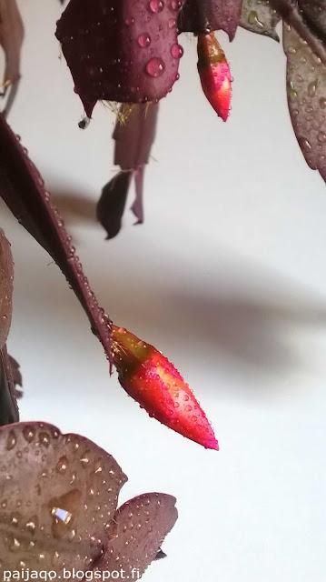 kaktus kukkii