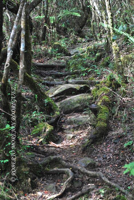 Raices hacen un camino entre los arboles en el ascenso al Pico Turquino