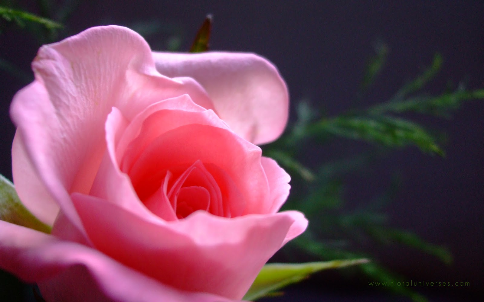 Natural HD Wallpaper Pink Rose Meaning