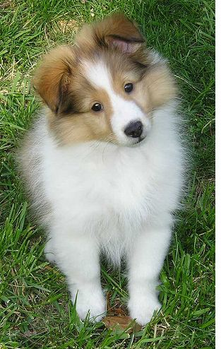 sheepdog puppies a young white and sable shetland sheepdog puppy