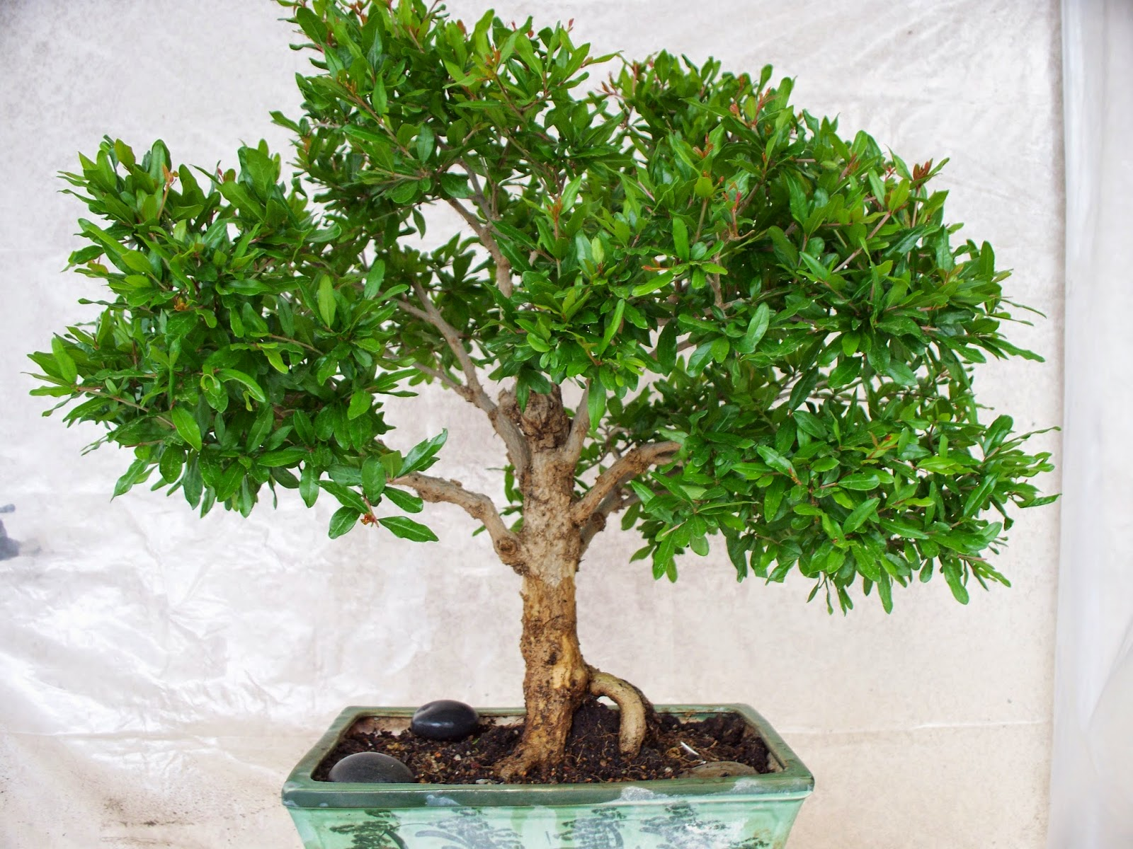 Vuonkhengot Bonsai Pomegranate