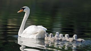 Swan Wallpaper