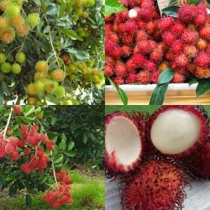 manfaat buah rambutan, rambutan banyak manfaat, rambutan enak