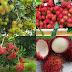 7 Manfaat Buah Rambutan yang Dahsyat Bagi Tubuh