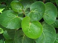 cara mengatasi payudara bengkak, daun mangkokan