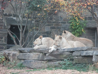 lions, Philadelphia zoo