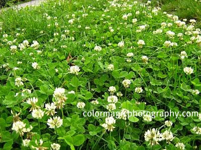 White clover lawn-Trifolium repens