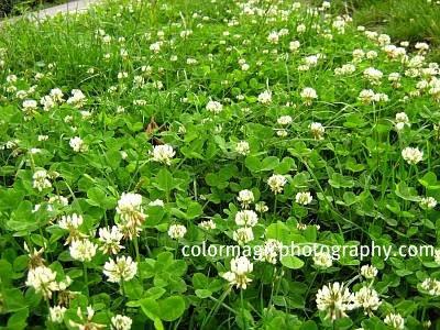 White clover lawn-Trifolium repens