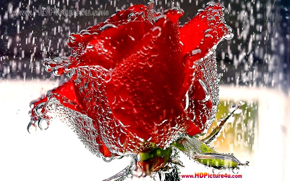 Rose Latest Images Latest 2015 Beautiful Red Rose