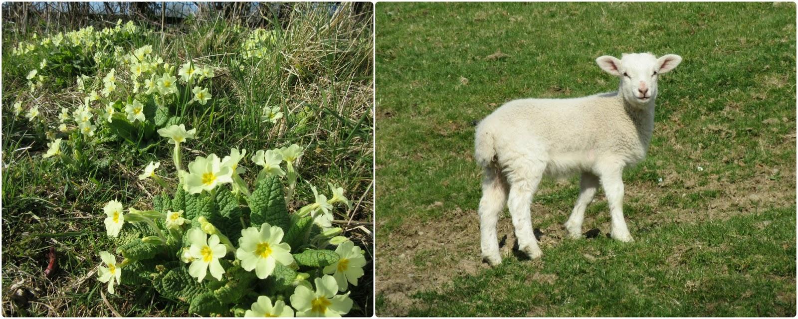 Primroses and lamb