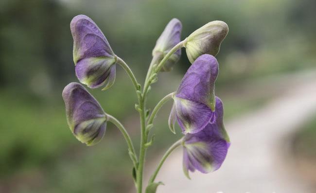 Monkshood Flowers