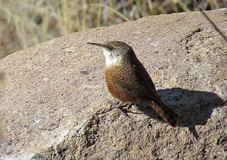 Canyon Wrens