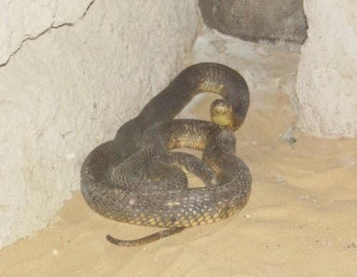 صور كوبرا مصرية حديقة الحيوان الاسكندرية