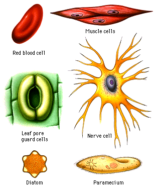 were the cell types the same in all three specimen sets yeast plaque and cheek Start studying microbiology lab were the cell types the same in all three specimen sets: yeast, plaque, and cheek how were they similar.