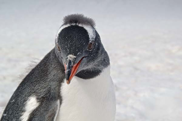 These little guys in particular are Gentoo penguins. - He Was Taking Photos Of A Glacier In Antarctica When Suddenly, Out Of Nowhere… WHOA!