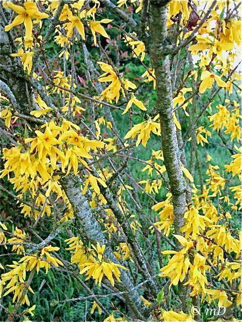 Le jardin de titi lumineux forsythia - Quand tailler un forsythia ...