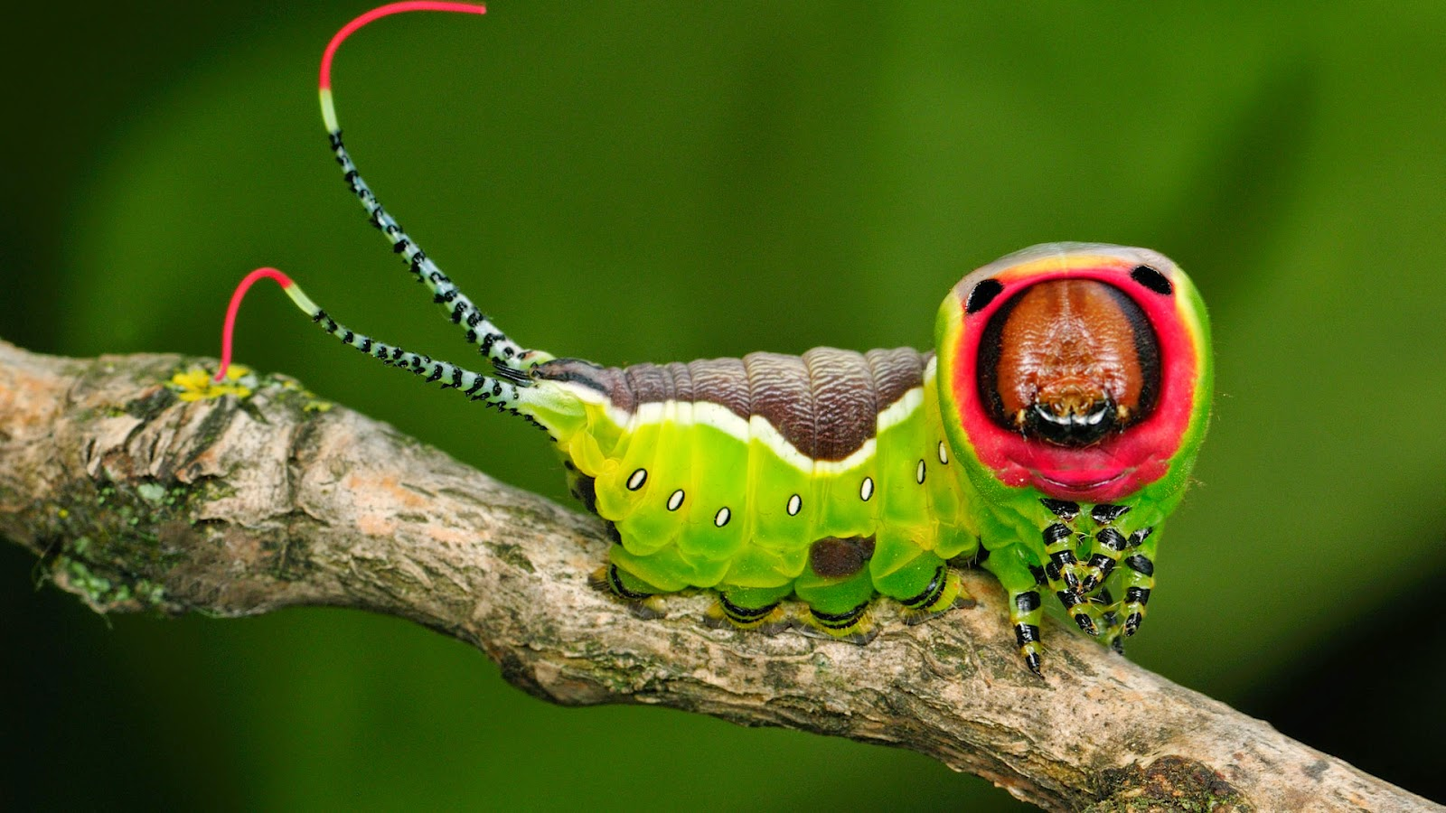 Beetle Boys Bioblog Top 5 Strangest Caterpillars