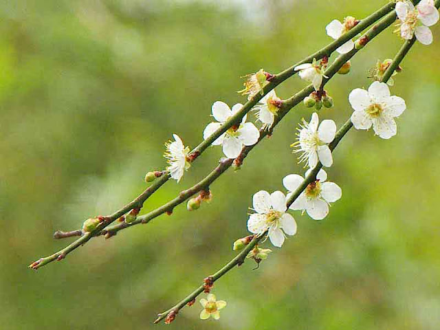 branches, buds, plum flowers