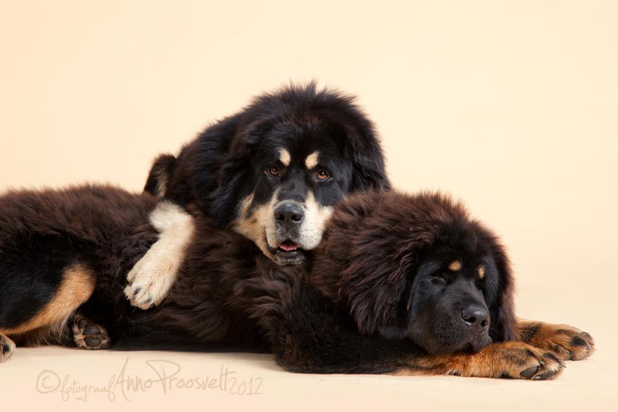 kaks-koera-pildistamas-mastif